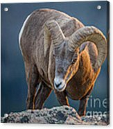 Rocky Mountain Big Horn Ram Acrylic Print