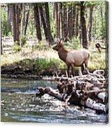 Rocky Mountain Elk Acrylic Print by Cindy Singleton