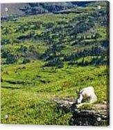Rocky Mountain Goat Glacier National Park Acrylic Print