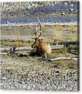 Rocky Mountains Elk Acrylic Print