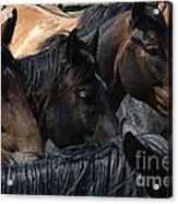 Rodeo Bucking Stock Acrylic Print