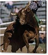 Rodeo Competitor In A Steer Riding Acrylic Print by Chris Johns