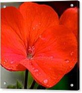 Romance In Red Acrylic Print