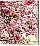 Romantic Cherry Blossoms Acrylic Print