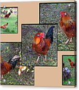 Rooster Red Acrylic Print