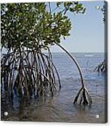 Root Legs Of Red Mangroves Extend Acrylic Print