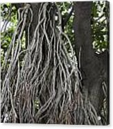 Roots From A Large Tree Inside Jallianwala Bagh Acrylic Print