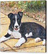 Rory Border Collie Puppy Acrylic Print by Richard James Digance