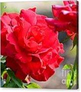 Rosas Roja Acrylic Print