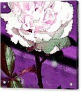 Rose 108 Acrylic Print