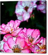 Rose 121 Acrylic Print by Pamela Cooper