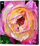 Rose 136 Acrylic Print
