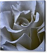 Rose 156 Acrylic Print