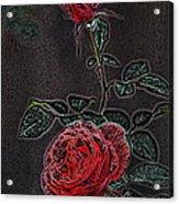 Rose 85 Acrylic Print