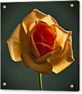 Rose-9 Acrylic Print