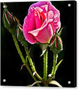 Rose And Buds Acrylic Print