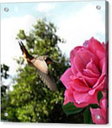 Rose And Rufous Acrylic Print