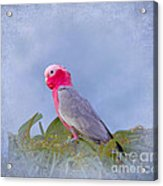 Rose Breasted Cockatoo In A Eucalyptus Tree Acrylic Print