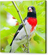Rose-breasted Grosbeak Acrylic Print