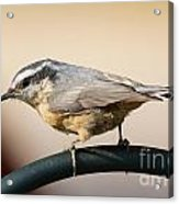 Rose Breasted Nuthatch Acrylic Print