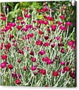 Rose Campion (lychnis Coronaria) Acrylic Print