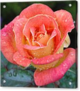 Rose Dew II Acrylic Print