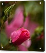 Rose Drop Acrylic Print