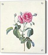 Rose Dutch Hundred Leaved Rose Acrylic Print