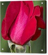 Rose Flower Series 1 Acrylic Print