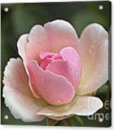 Rose Flower Series 12 Acrylic Print