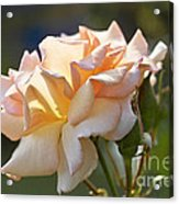 Rose Flower Series 15 Acrylic Print