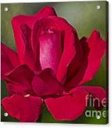 Rose Flower Series 2 Acrylic Print