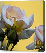 Rose Flower Series 3 Acrylic Print
