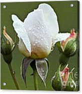 Rose Flower Series 5 Acrylic Print
