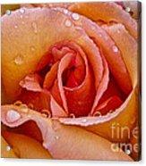 Rose Flower Series 8 Acrylic Print