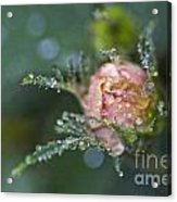 Rose Flower Series 9 Acrylic Print