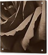 Rose In Sepia Acrylic Print