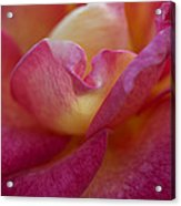 Rose Memories Acrylic Print
