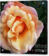 Rose Of Many Pastels Acrylic Print
