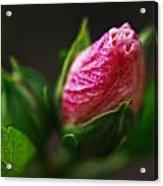Rose Of Sharon Bud Acrylic Print