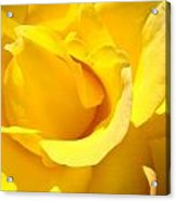 Rose Petal Flower Yellow Colorful Rose Floral Baslee Acrylic Print