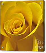 Rose Poetry Acrylic Print