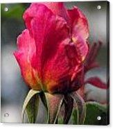Rose Red Acrylic Print
