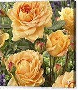 Rose Rosa Sp Golden Celebration Variety Acrylic Print