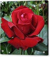 Rose Rosa Sp Ingrid Bergman Variety Acrylic Print