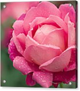 Rose (rosa 'star Of The Nile') Acrylic Print