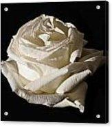 Rose Silver Anniversary Acrylic Print