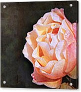 Rose With Dewdrops Acrylic Print