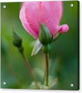 Rose With Pink Glow Acrylic Print