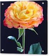 Rose3 Acrylic Print